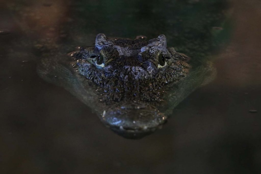 Spectacled caiman by F. Ronsholt