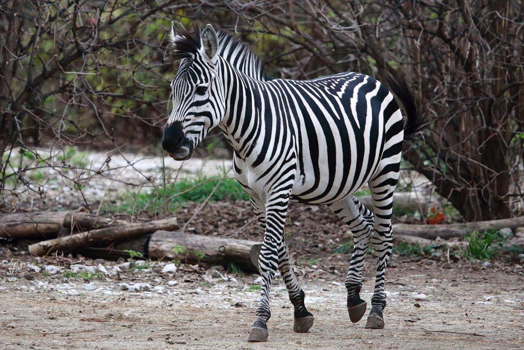 Равнинна зебра сн. М. Фенс