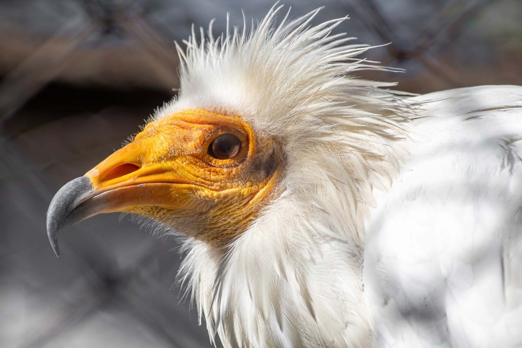 Egyptian vulture by J. Popov