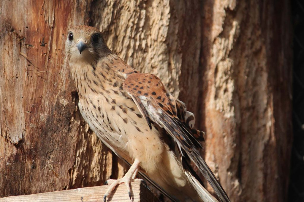 Common kestrel by K. Zareva