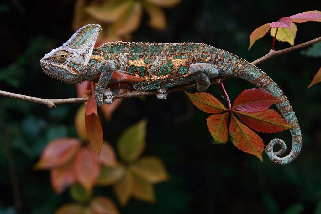 Veiled chameleon by M. Fens