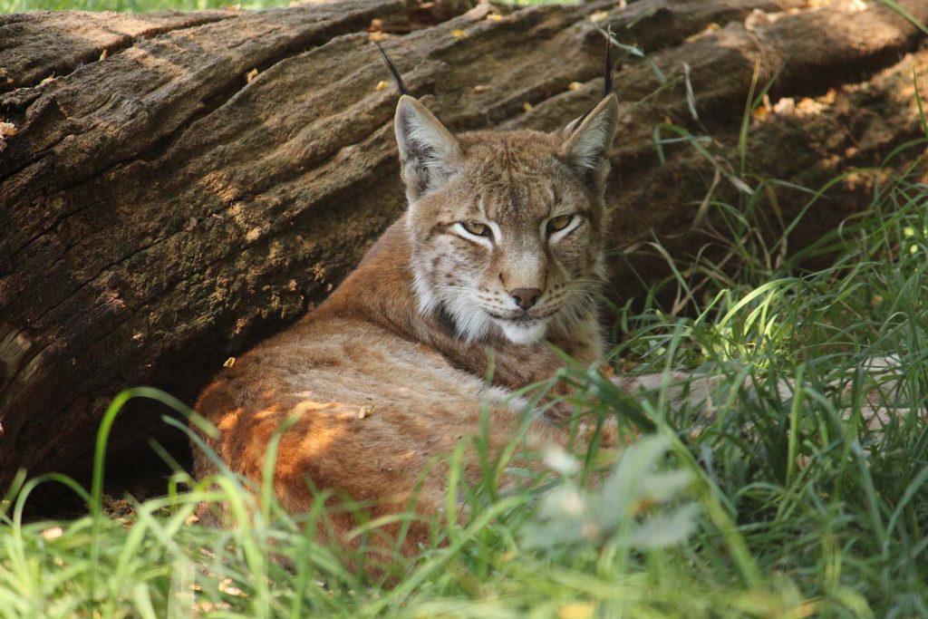 Eurasian lynx by K. Zareva