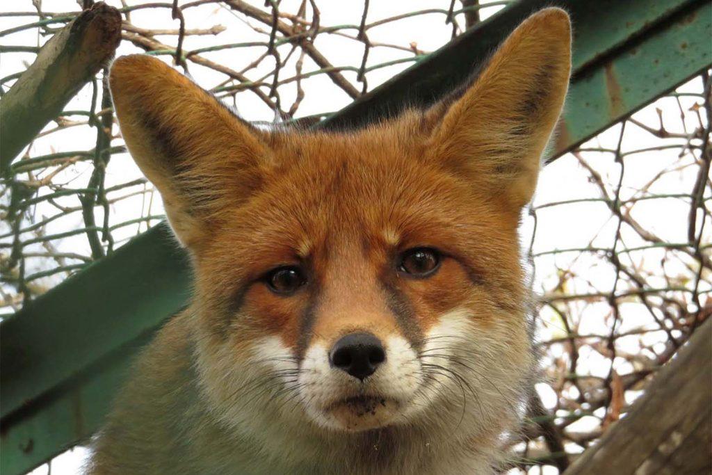 Red fox by K. Zareva
