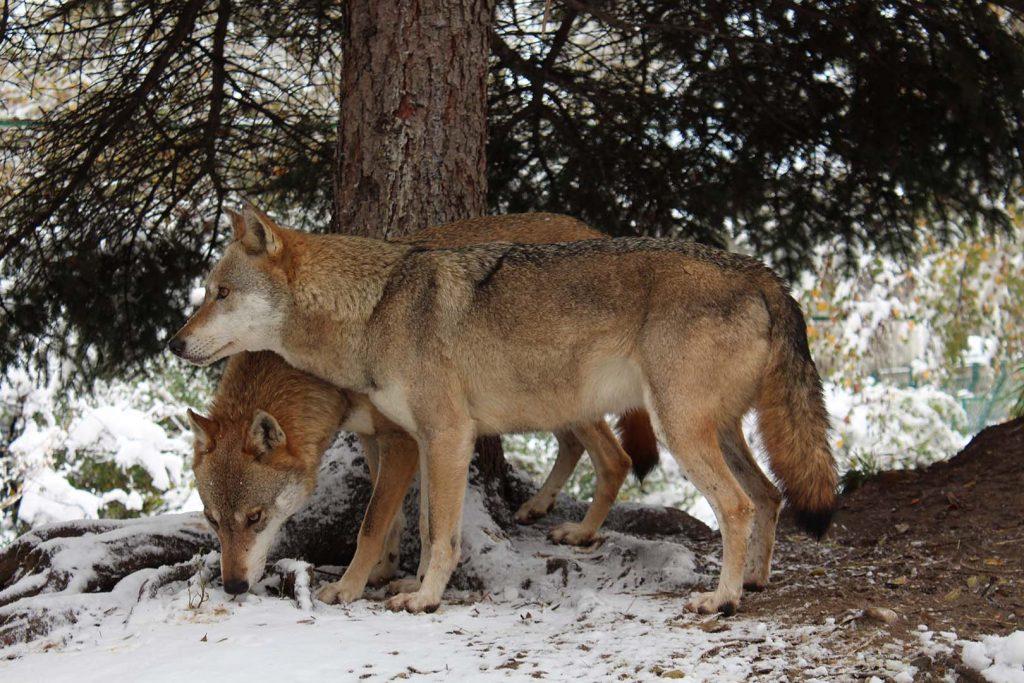 Wolf by K. Zareva
