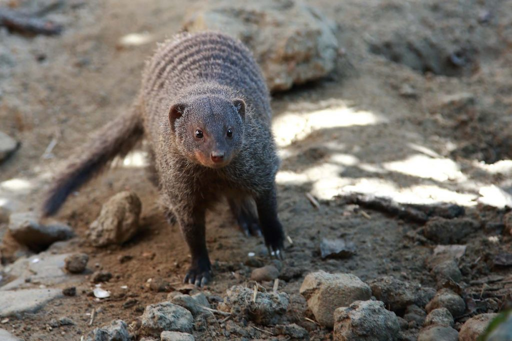 Banded mongoose by M. Fens