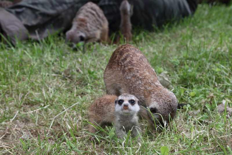 Сурикатите се размножават в новото си заграждение в Софийския зоопарк