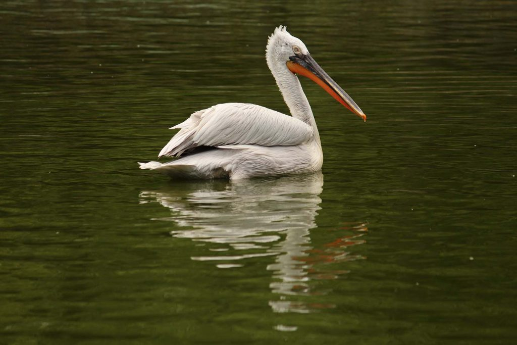 Dalmatian pelican by K. Zareva