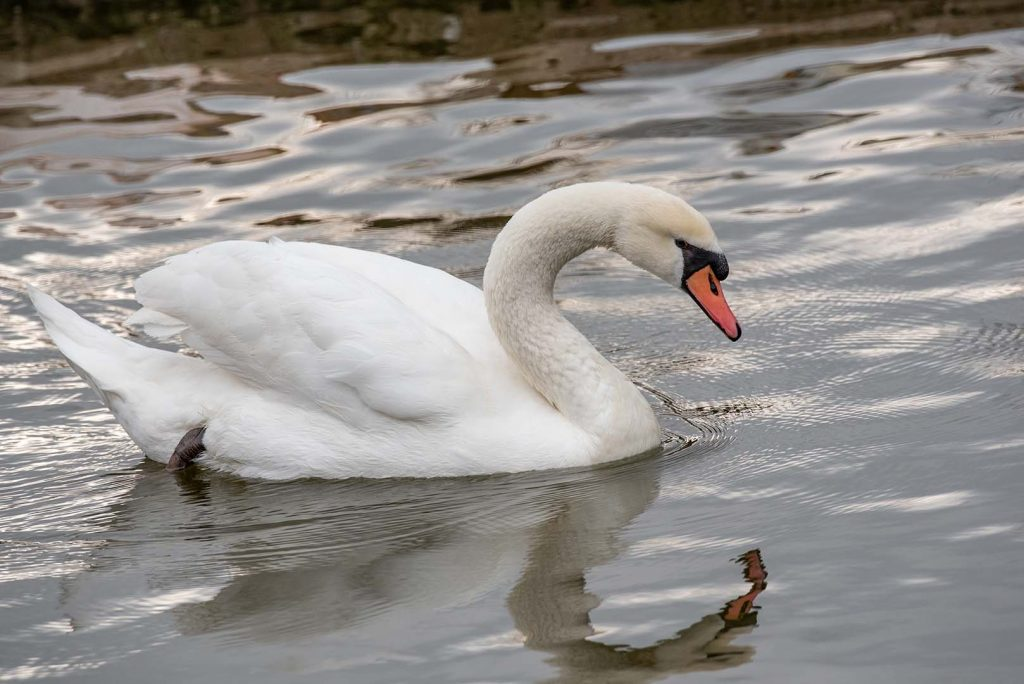 Mute swan by J. Popov