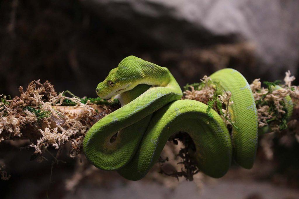 Green tree python by G. Krastev