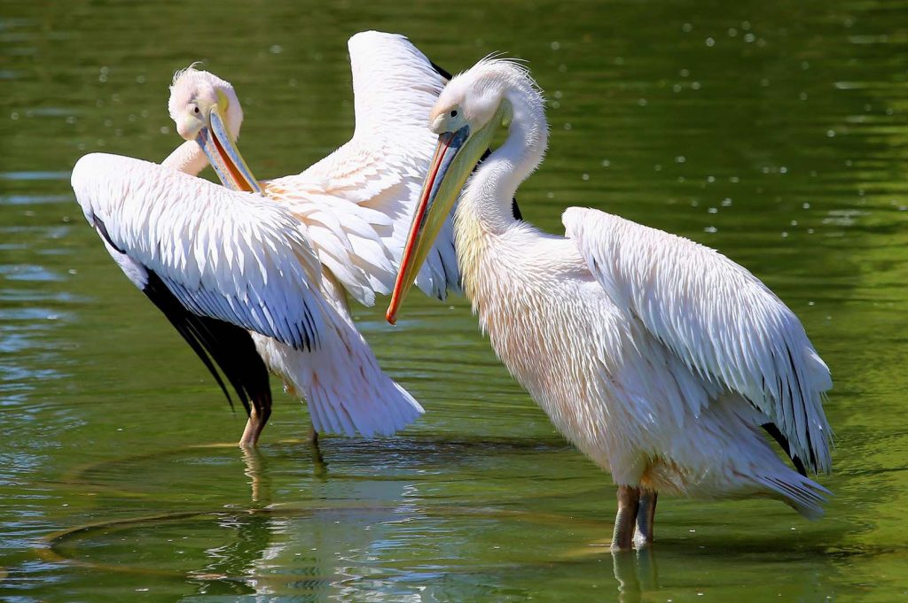 Great white pelican by M. Fens
