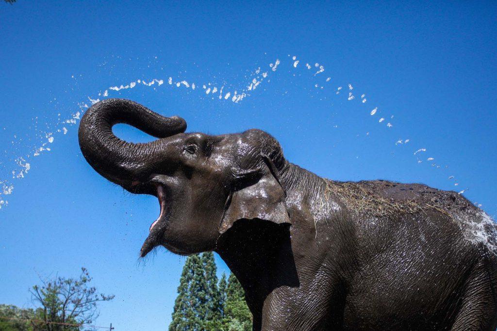 Asian elephant by D. Stoichev