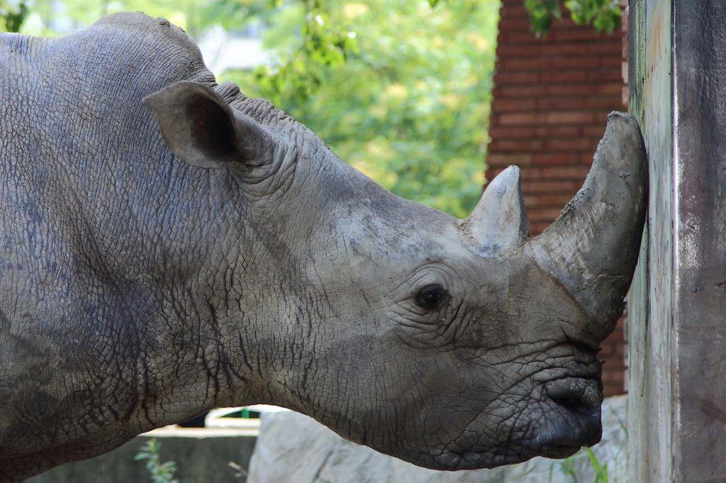 White rhinoceros by M. Fens