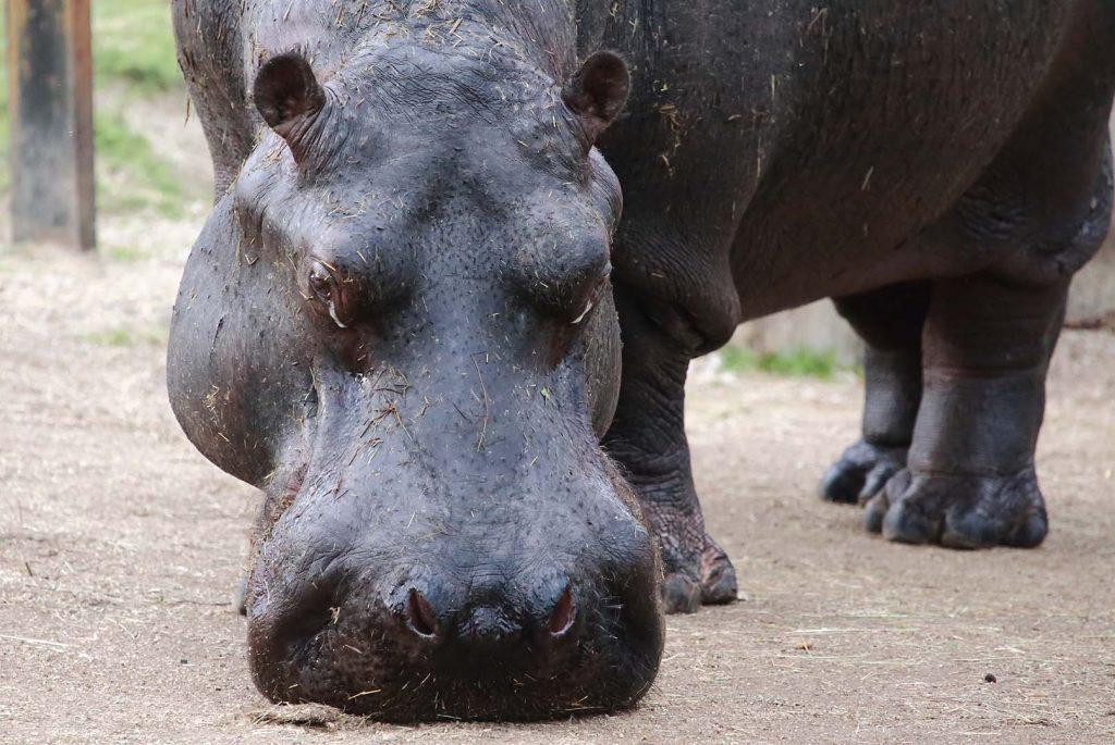 Hippopotamus by M. Fens