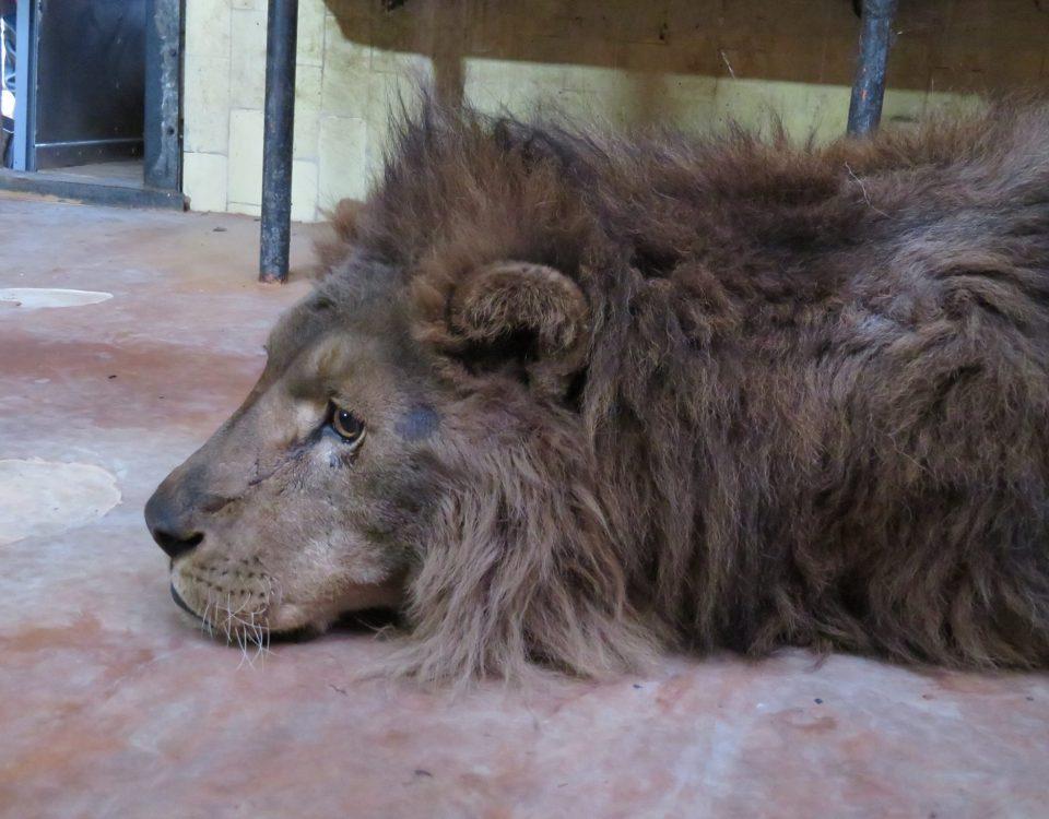 Двойката лъвове Хектор и Рая пристигнаха в Софийския зоопарк
