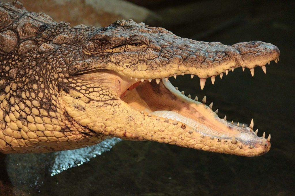 Nile crocodile by K. Zareva