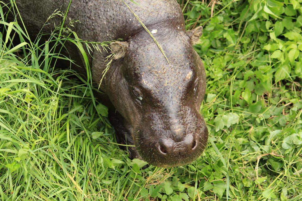 Pygmy hippopotamus by M. Fens