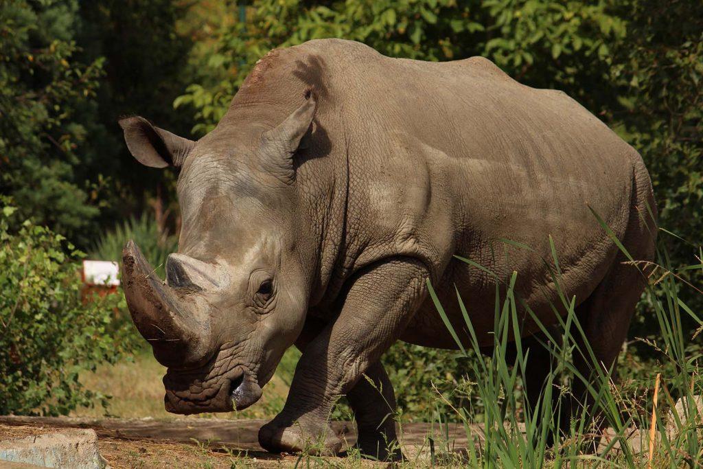 White rhinoceros by K. Zareva