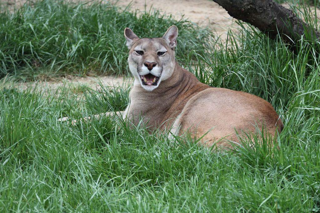 Cougar by M. Fens