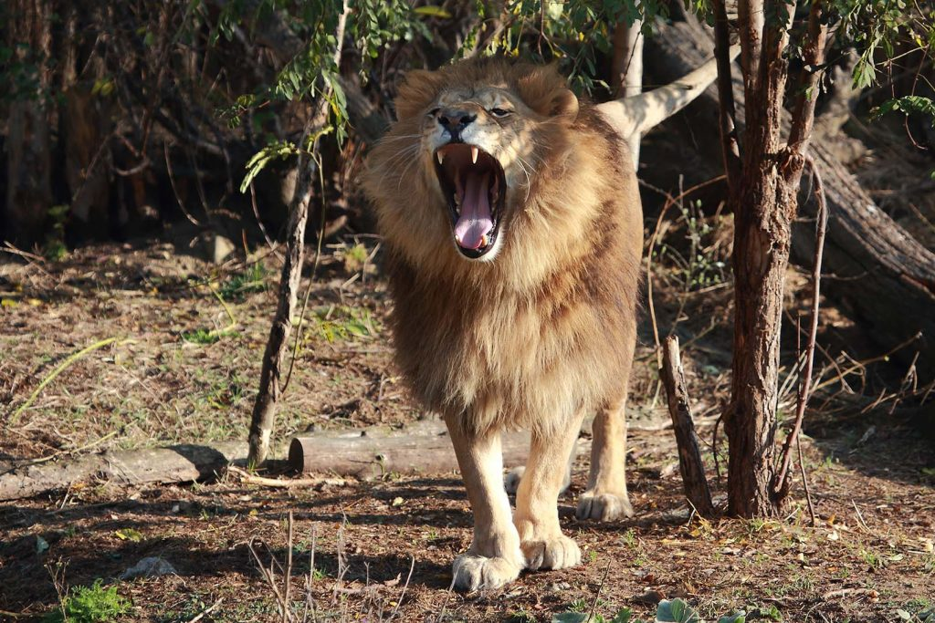 African lion by M. Fens