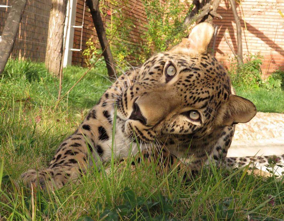 Персийски леопард сн. К. Зарева