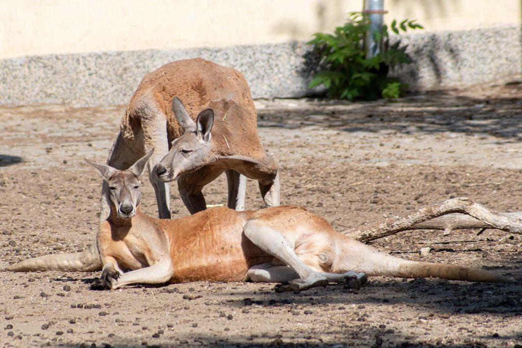 Red kangaroo by J. Popov