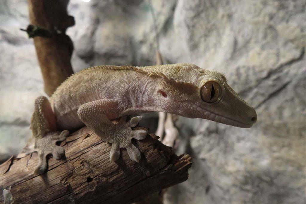 Crested gecko by K. Zareva