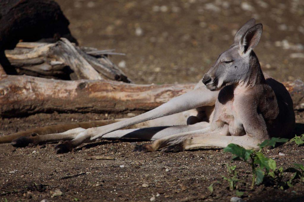 Ръждиво кенгуру сн. М. Фенс