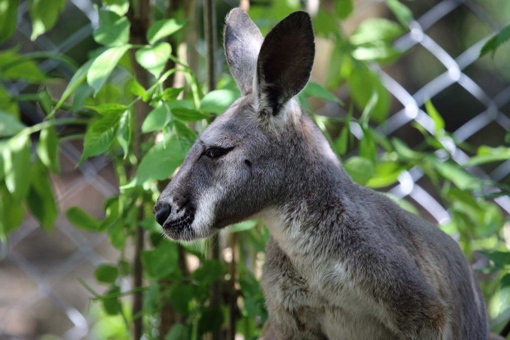 Red kangaroo by M. Fens