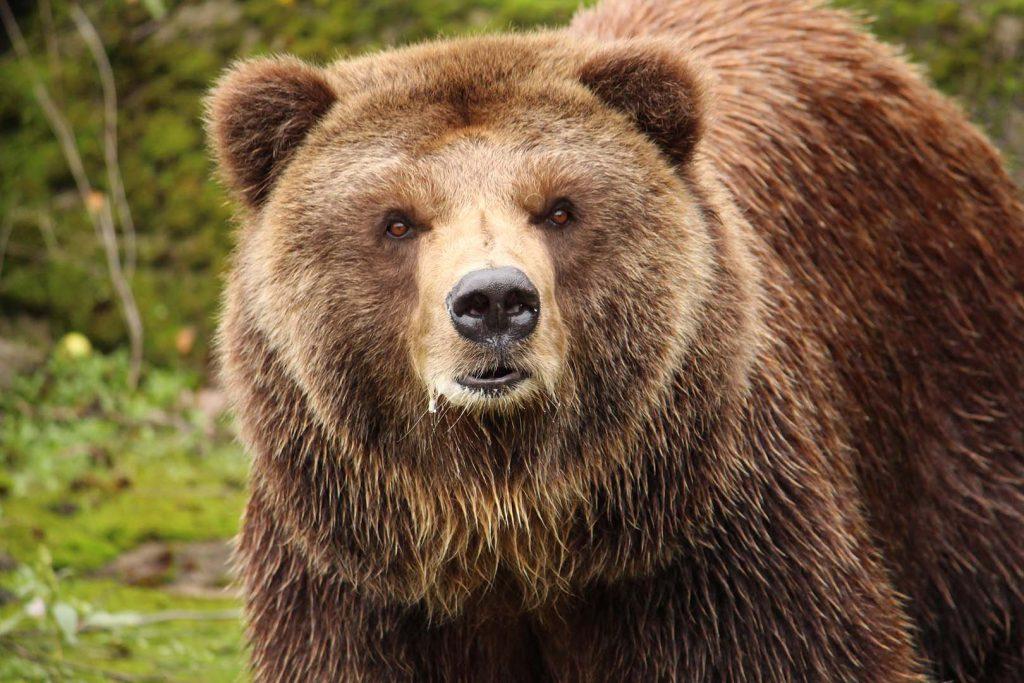 Grizzly bear by K. Zareva