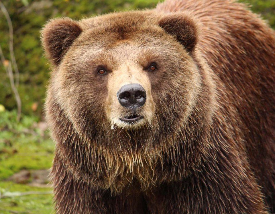 Кафява мечка гризли сн. К. Зарева