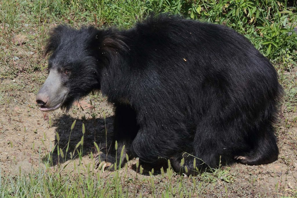 Sloth bear by M. Fens