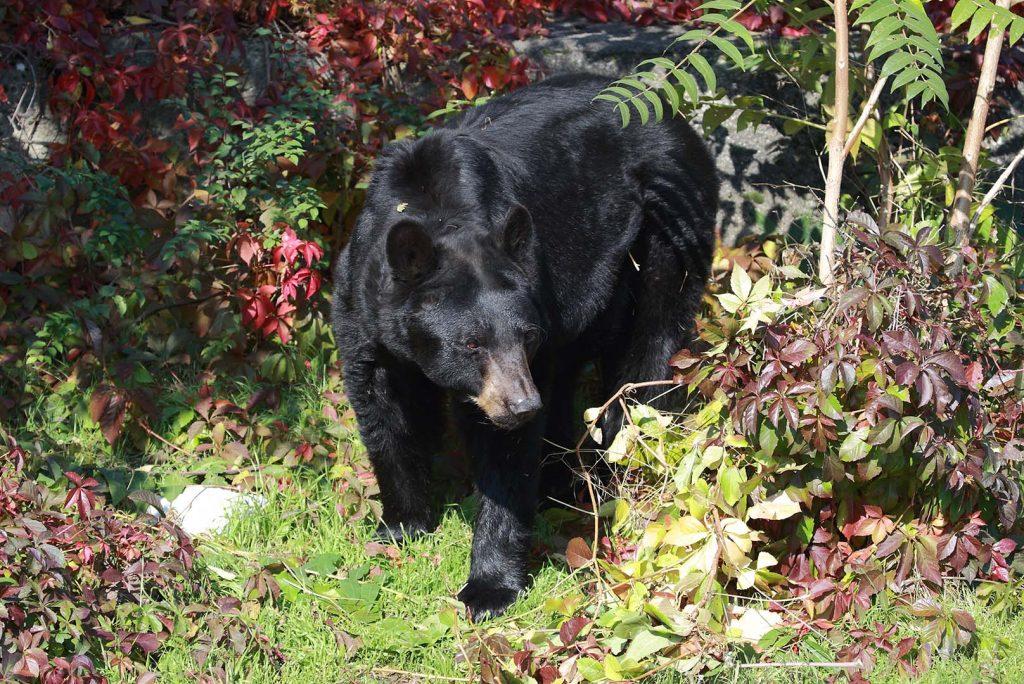 American black bear by M. Fens