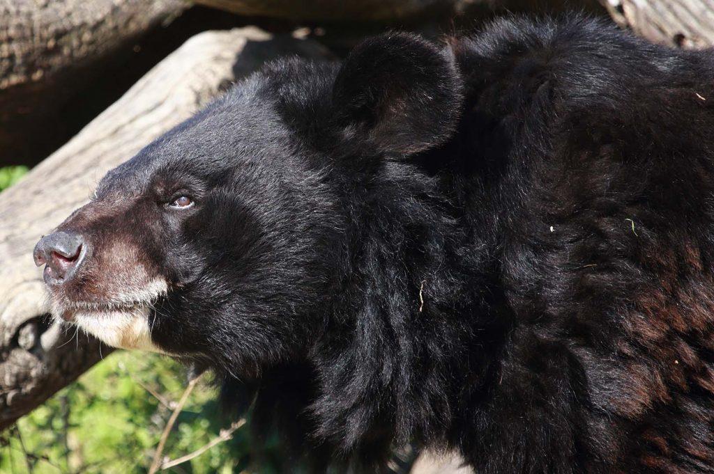 Asian black bear by M. Fens