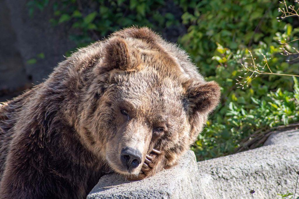 Brown bear by J. Popov