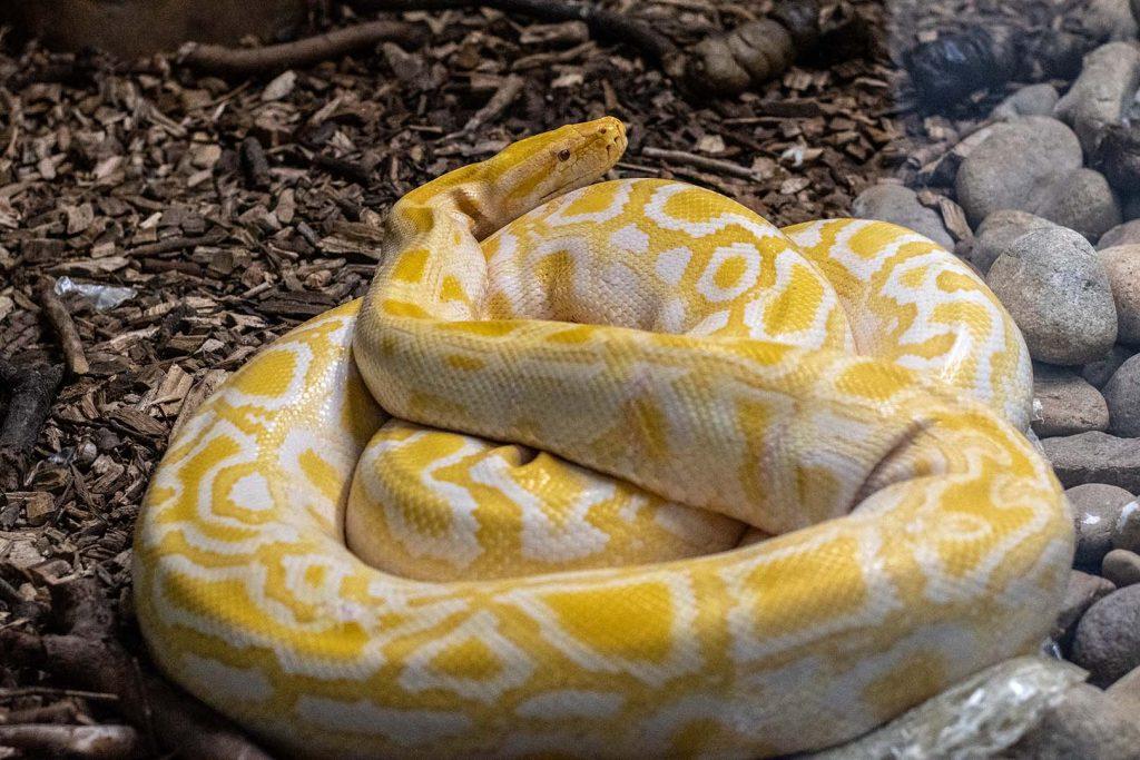 Indian python by G Krastev