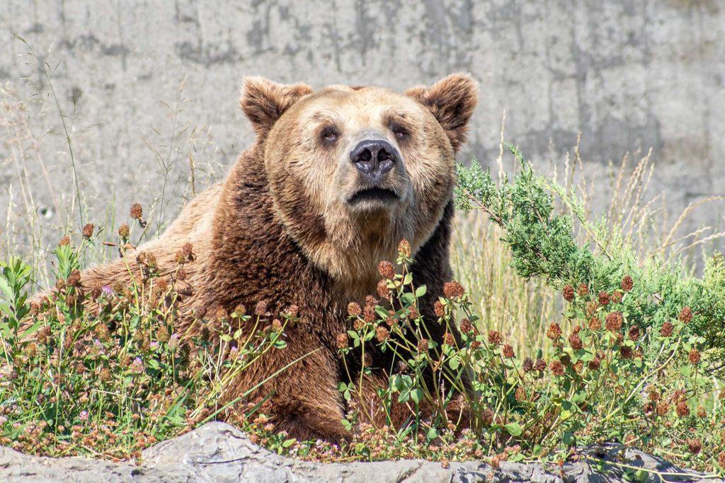 Кафява мечка сн. Ю. Попов