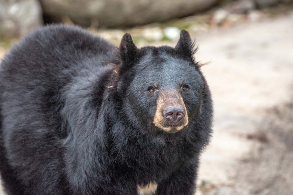 American black bear by J. Popov