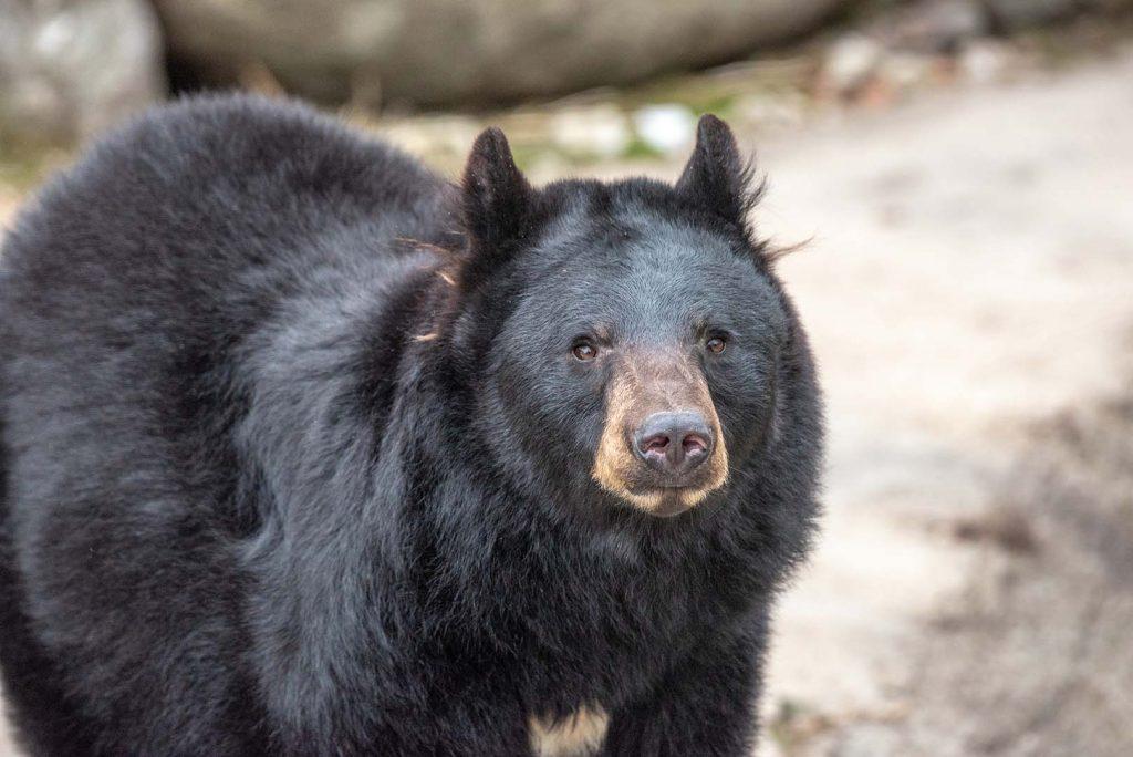 American black bear by J. Popov