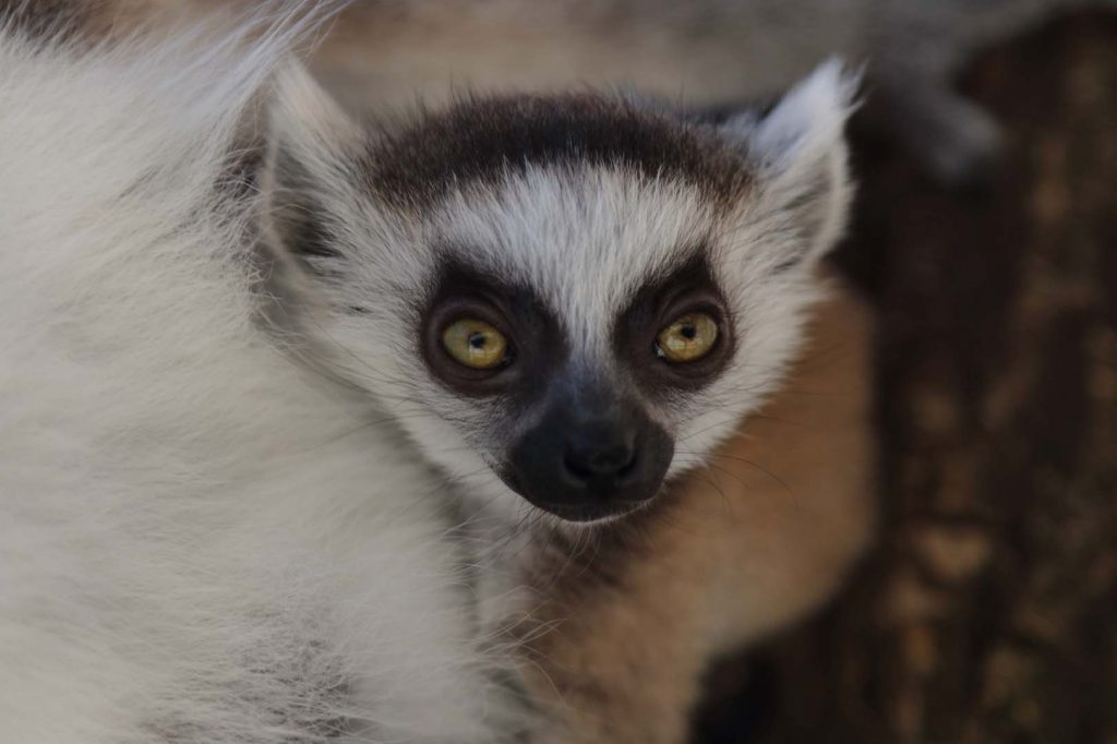 Ring-tailed lemur by M. Fens