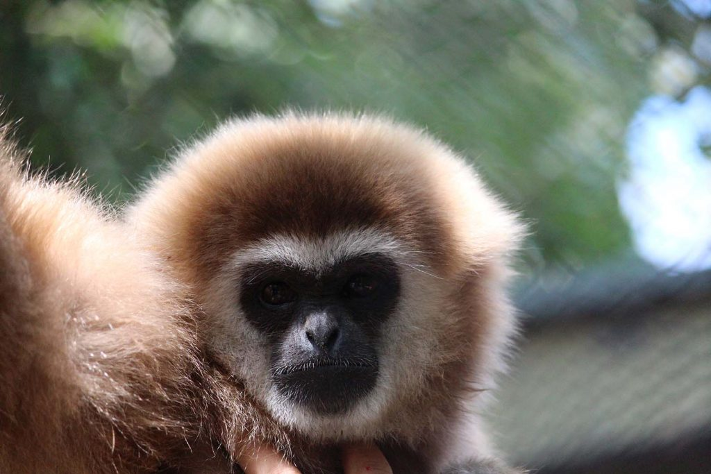 White-handed gibbon by K. Zareva