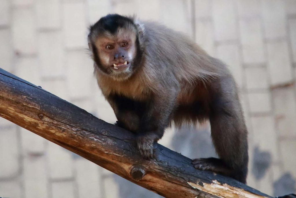 Tufted capuchin/ Black-capped capuchin by M. Fens