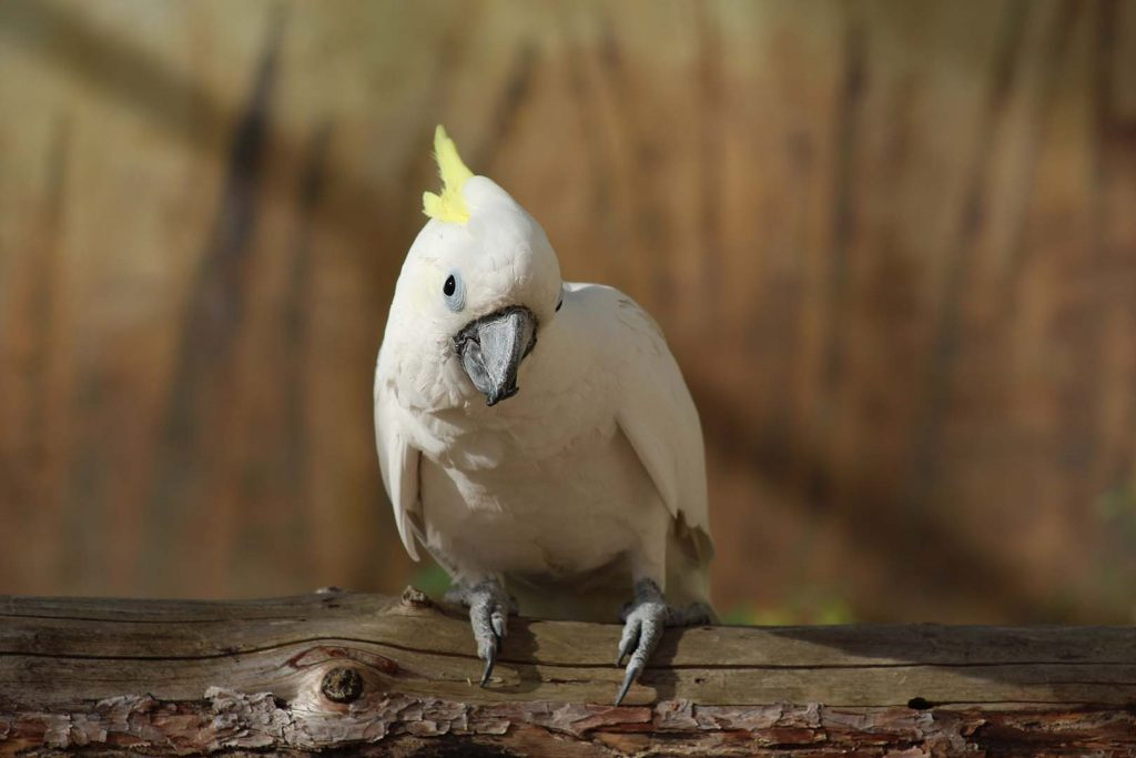 Yellow-crested cockatoo by K. Zareva