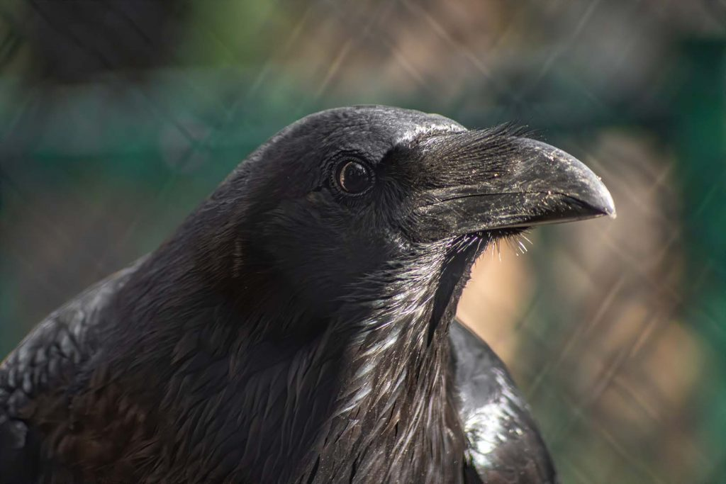 Common raven by J. Popov