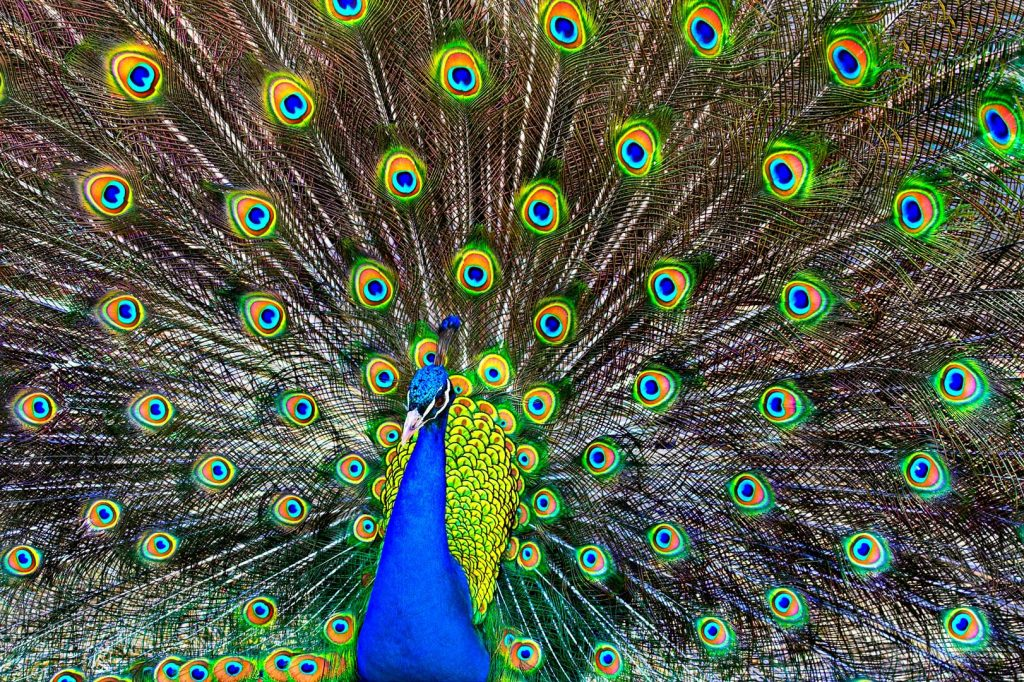 Indian (Blue) peafowl by S. Bonk