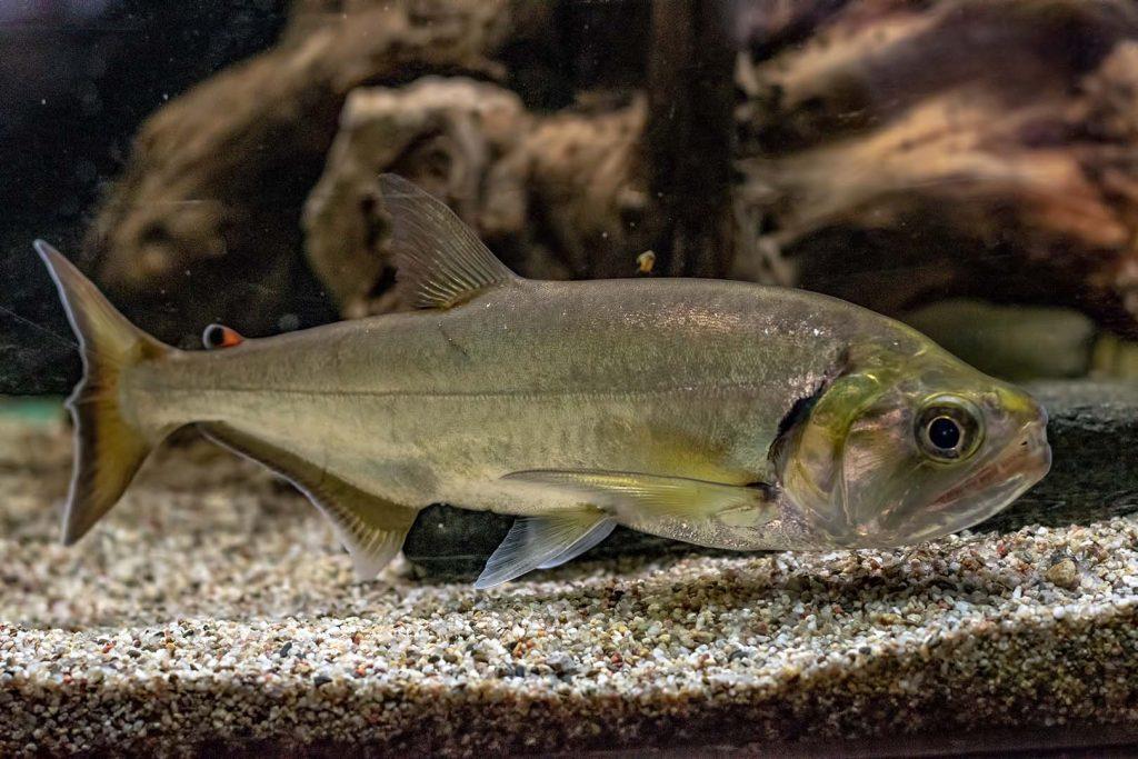 Vampire fish by J. Popov