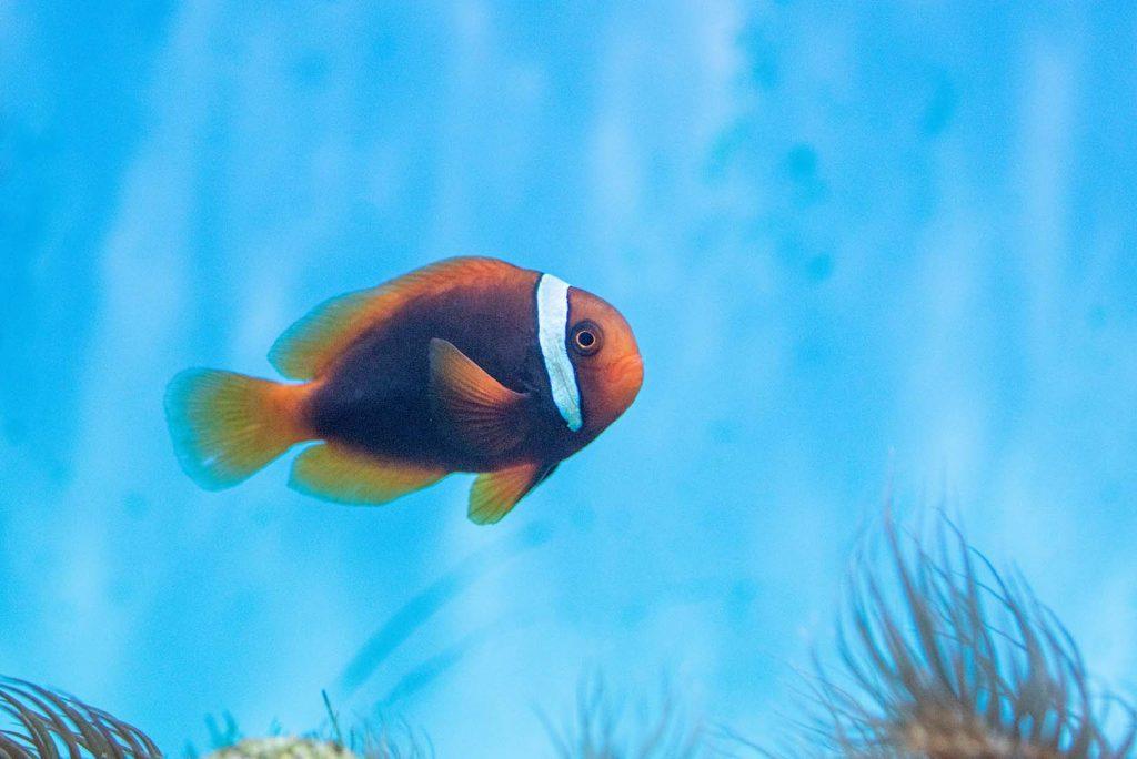 Tomato Clownfish by J. Popov