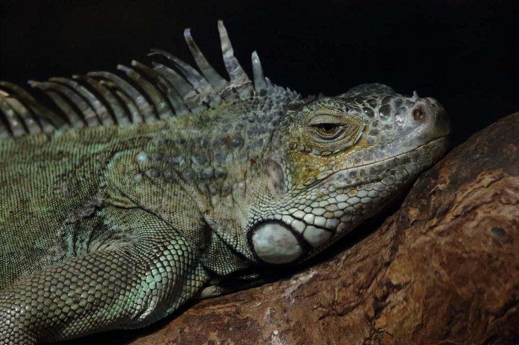 Green iguana by M. Fens