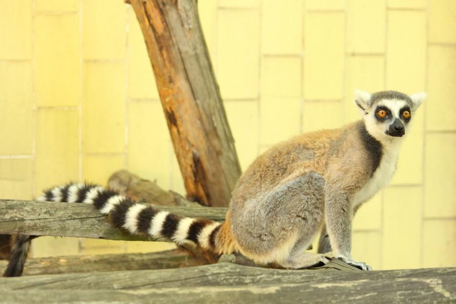 Нови котешки лемури в Зоологическа градина – София