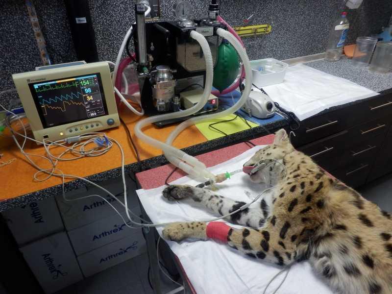 Уникална стоматологична операция на сервал от Софийския зоопарк