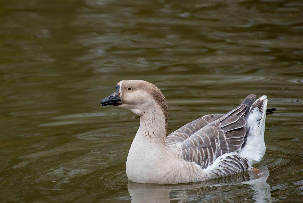Swan goose by J. Popov